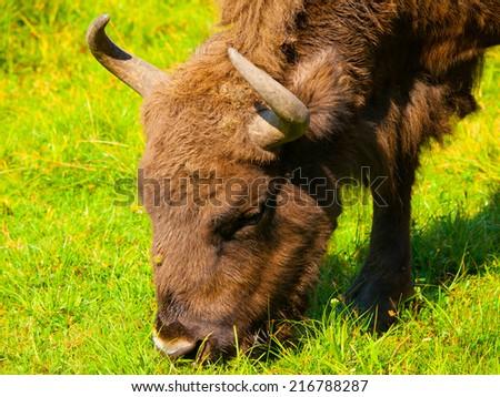 Head of european wood bison (wisent or Bison bonasus) grazing in Bialowieza forest - stock photo