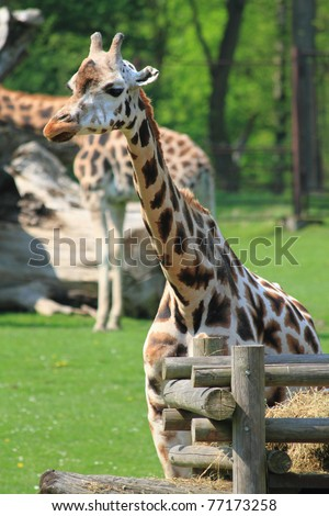 head of giraffe in the fresh garden - stock photo