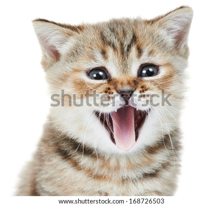 Head of happy british shorthair kitten cat wiht open mouth isolated - stock photo