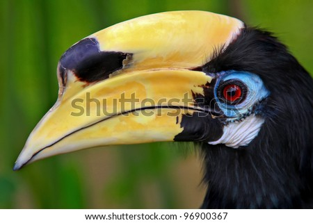 Head Wreaths For Sale Head of Male Wreathed Hornbill