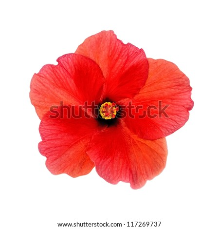 Head of red blooming hibiscus, closeup, isolated on a white background. - stock photo