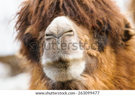 Head of the camel - stock photo