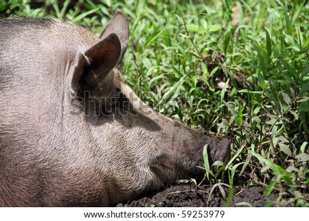 Head of very big pig in the green grass - stock photo