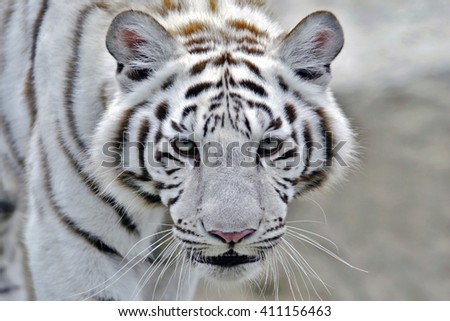 Head of White Bengal Tiger walking, close-up - stock photo