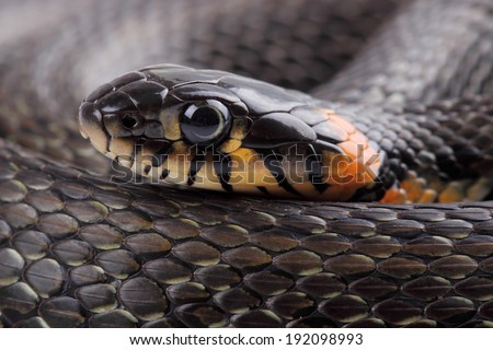 Head on grass snake. Close up  - stock photo