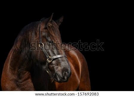 Head portrait of a beautiful Friesian horse with attentive facial expression looking to the side. Image on black studio background. - stock photo