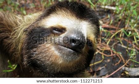 Head portrait of Three-toed sloth, Costa Rica, Central America - stock photo