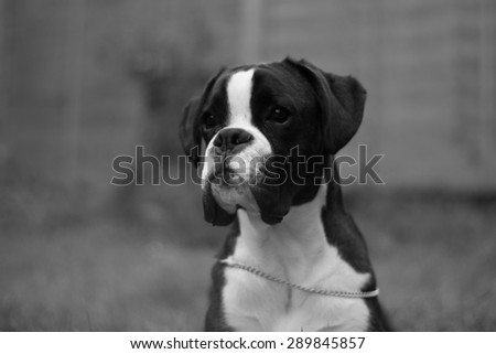 head profile of boxer dog puppy - stock photo