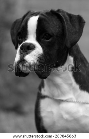 head profile of boxer dog puppy in black and white - stock photo