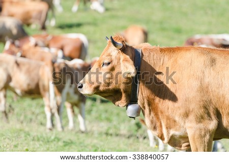 Head profile portrait of red ginger cow against herd of cattles grazing on sunny field - stock photo