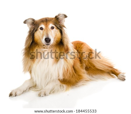Head rough collie - Scottish shepherd (lassie). sable color. isolated on white background - stock photo