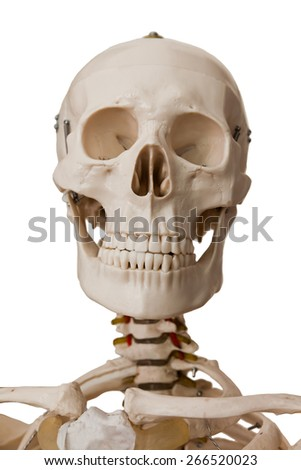 Head section of human skeleton model, isolated on white background - stock photo