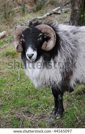 Head / Sheep - stock photo