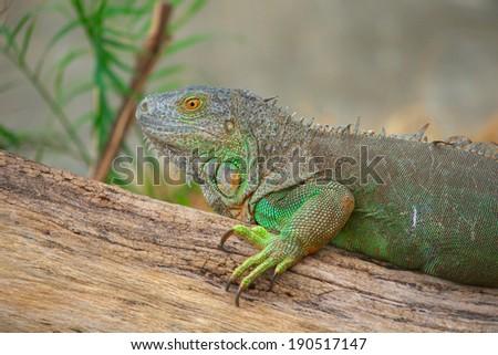 Head short of green iguana - stock photo