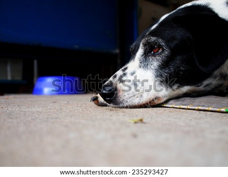 head shot close up of a black and white dalmatian dog no purebred laying on the gray color concrete garage floor outdoor under natural sunlight lin summer with a dog food bowl blur in the background - stock photo