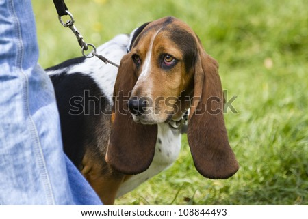Head shot of a basset hound dog on a lead standing by her owner. - stock photo