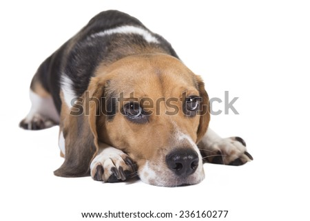 Head shot of a beagle with his head on the ground. Eyes are looking at the camera - stock photo