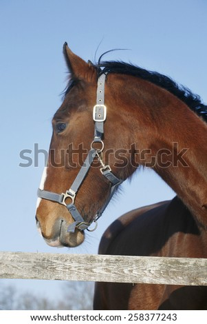 Head shot of a beautiful chestnut stallion at farm under blue sky as a background - stock photo