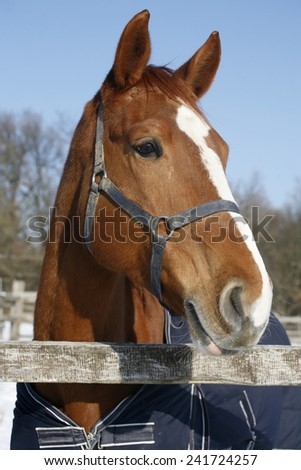 Head shot of a beautiful thoroughbred horse in winter corral under blue sky - stock photo