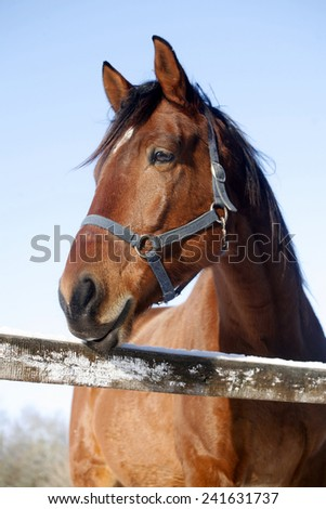 Head shot of a beautiful thoroughbred horse in winter corral under blue sky rural scene  - stock photo