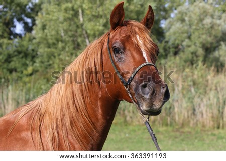 Head shot of a chestnut arabian stallion at farm. Close-up of a thoroughbred horse head on natural background - stock photo