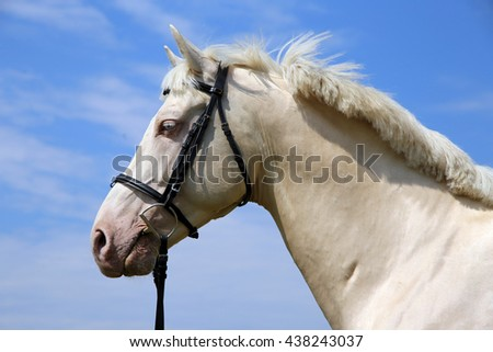 Head shot of a cremello horse with bridle against blue sky background  - stock photo