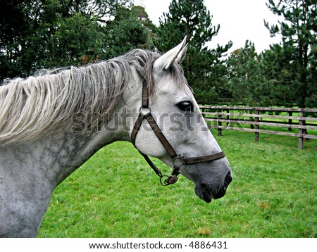 Head shot of a grey mare in a pasture at the Irish National Stud in County Kildare, Ireland - stock photo