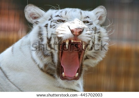 Head shot of a yawning bengal white tiger - stock photo