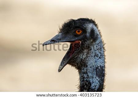 Head shot of an Emu or Dromaius novaehollandiae with desert background, Bahrain - stock photo