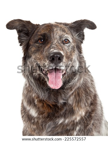 Head shot of Australian Shepherd Mix Breed Dog facing forward. - stock photo