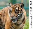 Head Shot of Beautiful Sumatran Tiger Panthera Tigris Sumatrae - stock photo