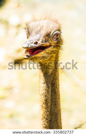 Head shot of Common Ostrich, Thailand. - stock photo