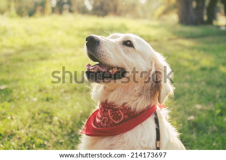 Head shot of Golden Retriever  - stock photo