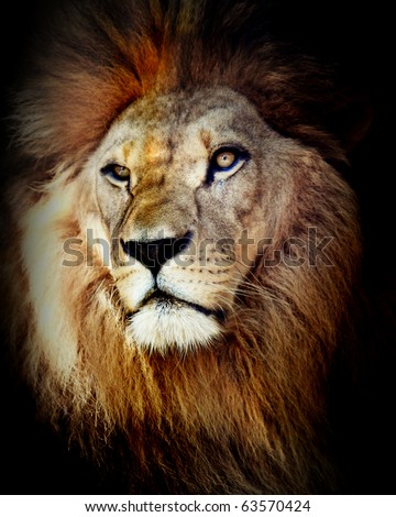 Head shot of lion - stock photo