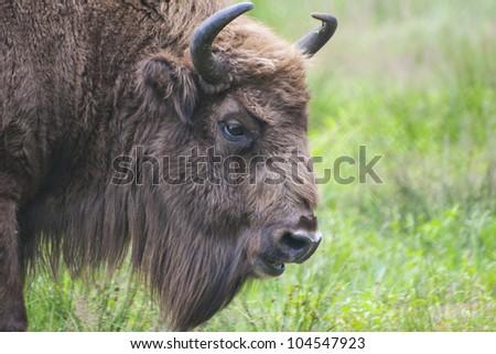 head shot of rare European bison (Bison bonasus) over grass field background - stock photo