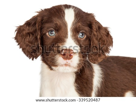 Head shot portrait of a cute seven week old English Springer Spaniel puppy dog - stock photo