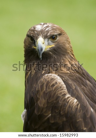 Head shot portrait of a golden eagle in the grass - stock photo