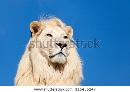 Head Shot Portrait of Majestic White Lion against Blue Sky Panthera Leo - stock photo