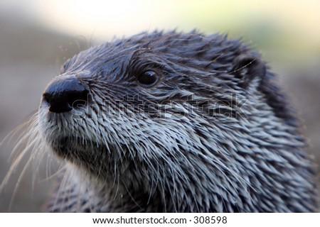 Head Shot River Otter - stock photo