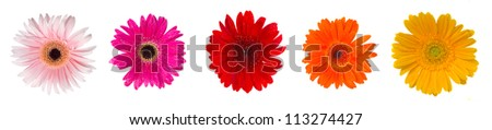 heads of gerbera flowers isolated on white background - stock photo