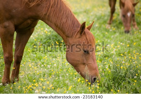 Heads of two grazing brown horses. Yellow flowers and green grass. - stock photo