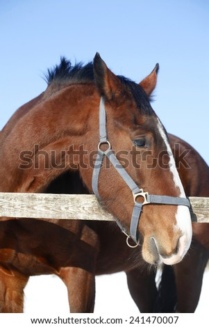 Headshot of a beautiful thoroughbred horse in winter pin fold rural scene  - stock photo