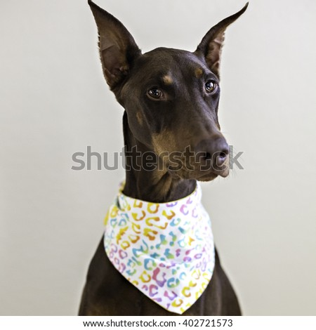 headshot of a doberman dog wearing a bandana - stock photo