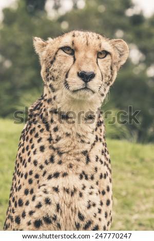 Headshot of cheetah against blurred green background. Tenikwa wildlife sanctuary. Plettenberg Bay. South Africa. - stock photo