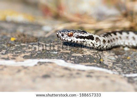 Headshot of Vipera berus, the common European adder - stock photo