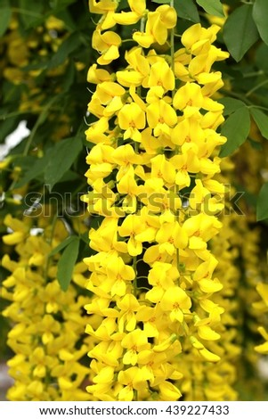 Healing Laburnum anagyroides - stock photo