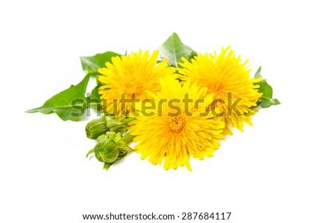 Healing plants. Dandelion isolated on white background - stock photo