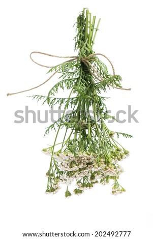 healing plants: Yarrow (Achillea millefolium) - for drying hanging bundles - stock photo