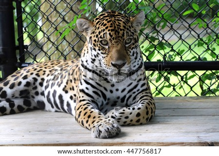 Healthy adult jaguar  - stock photo