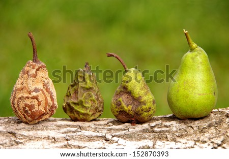 Healthy and rotten pear - stock photo